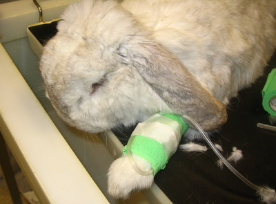 A rabbit receiving intravenous fluids at Orchard Veterinary Group